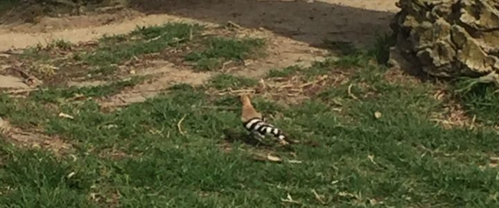 First Stop For Hoopoe Bird?